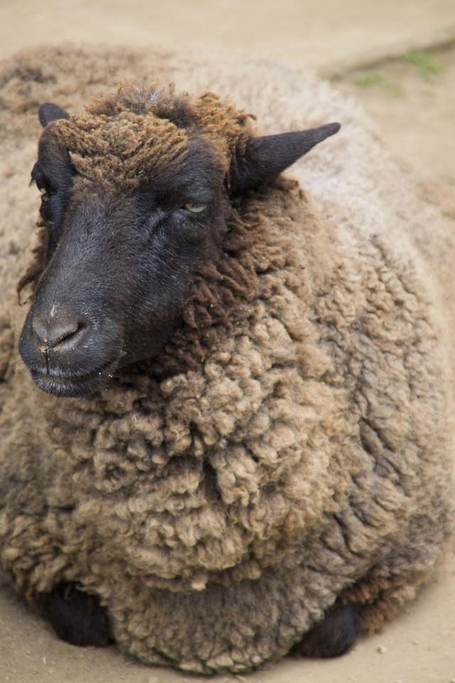 とぼけた表情の黒羊の写真