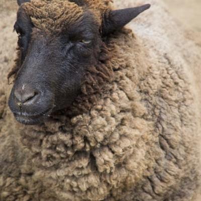 「とぼけた表情の黒羊」の写真素材