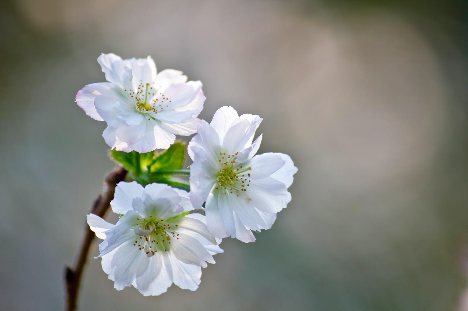「花開くジュガツザクラ」の写真
