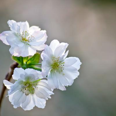 「花開くジュガツザクラ」の写真素材