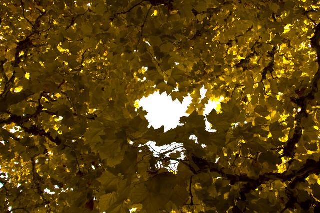 紅葉した楓の写真