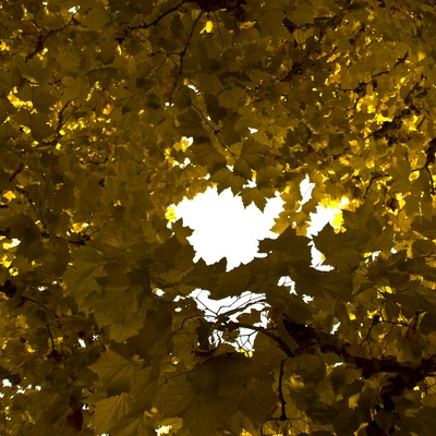 「黄色く紅葉した楓」の写真素材