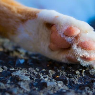 「猫の肉球(猫の手)」の写真素材