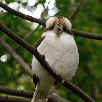 「ぬいぐるみのような小鳥」の写真素材