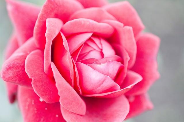 ロミオ(薔薇)の写真