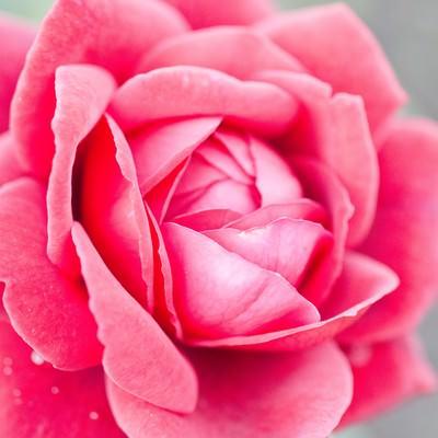 「ロミオ(薔薇)」の写真素材