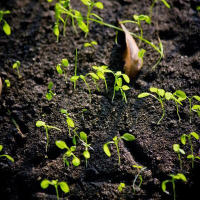 「土から出てきた新芽」の写真素材