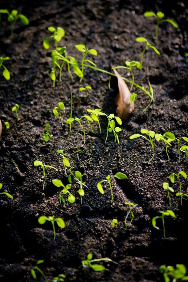 「土から出てきた新芽」の写真