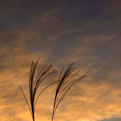 すすきと夕暮れの写真