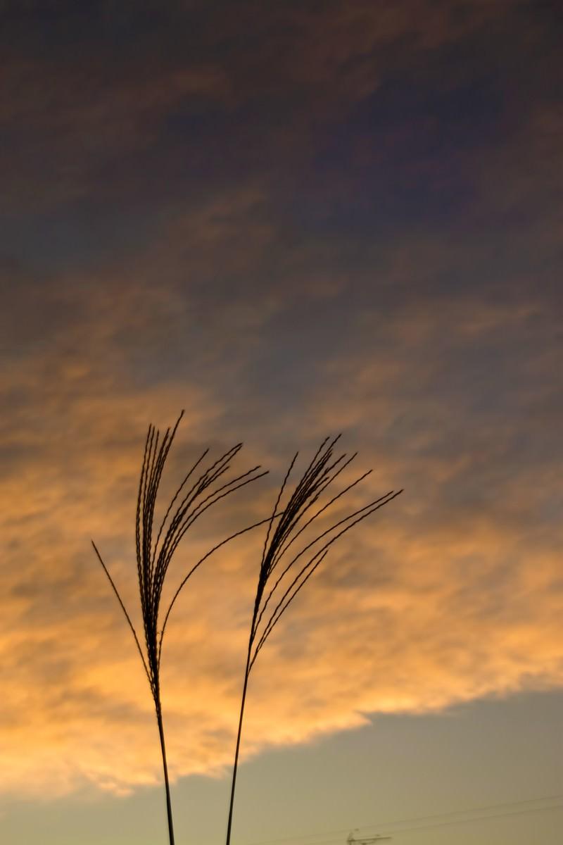 「すすきと夕暮れ」の写真