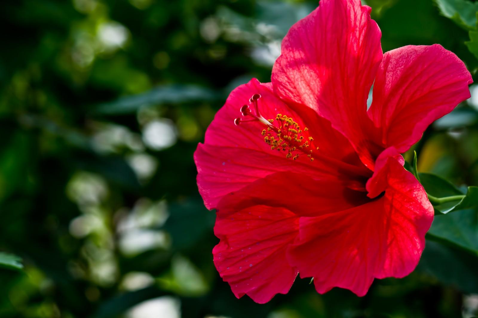 「赤いハイビスカスの花」の写真