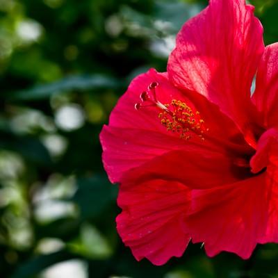 「赤いハイビスカスの花」の写真素材