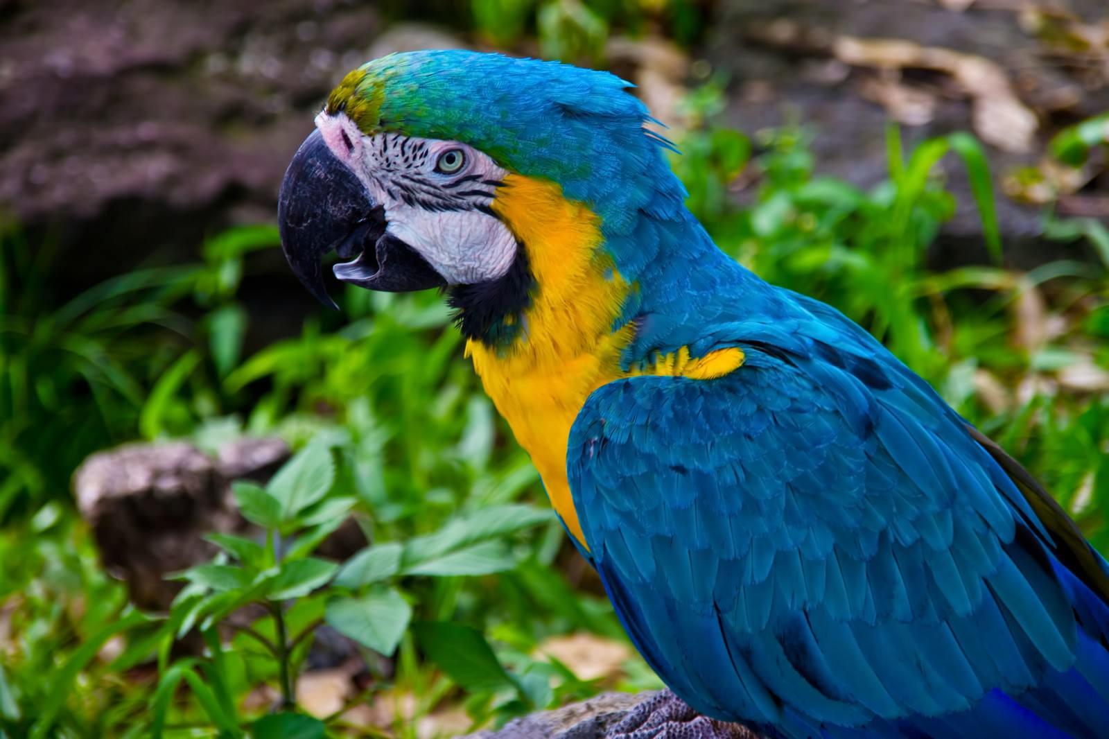 「青い羽根のオウム」の写真