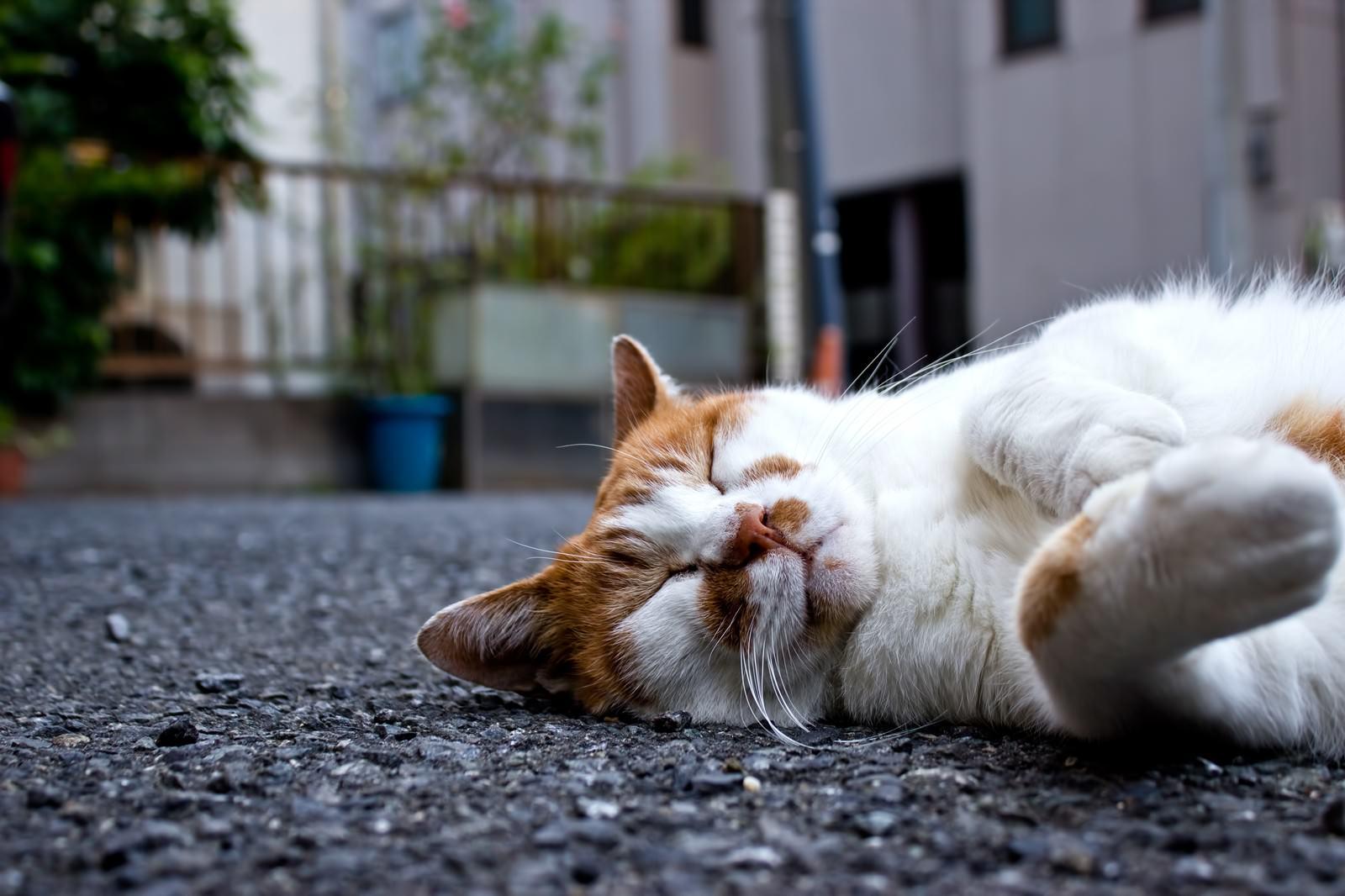 「爆睡している猫爆睡している猫」のフリー写真素材を拡大