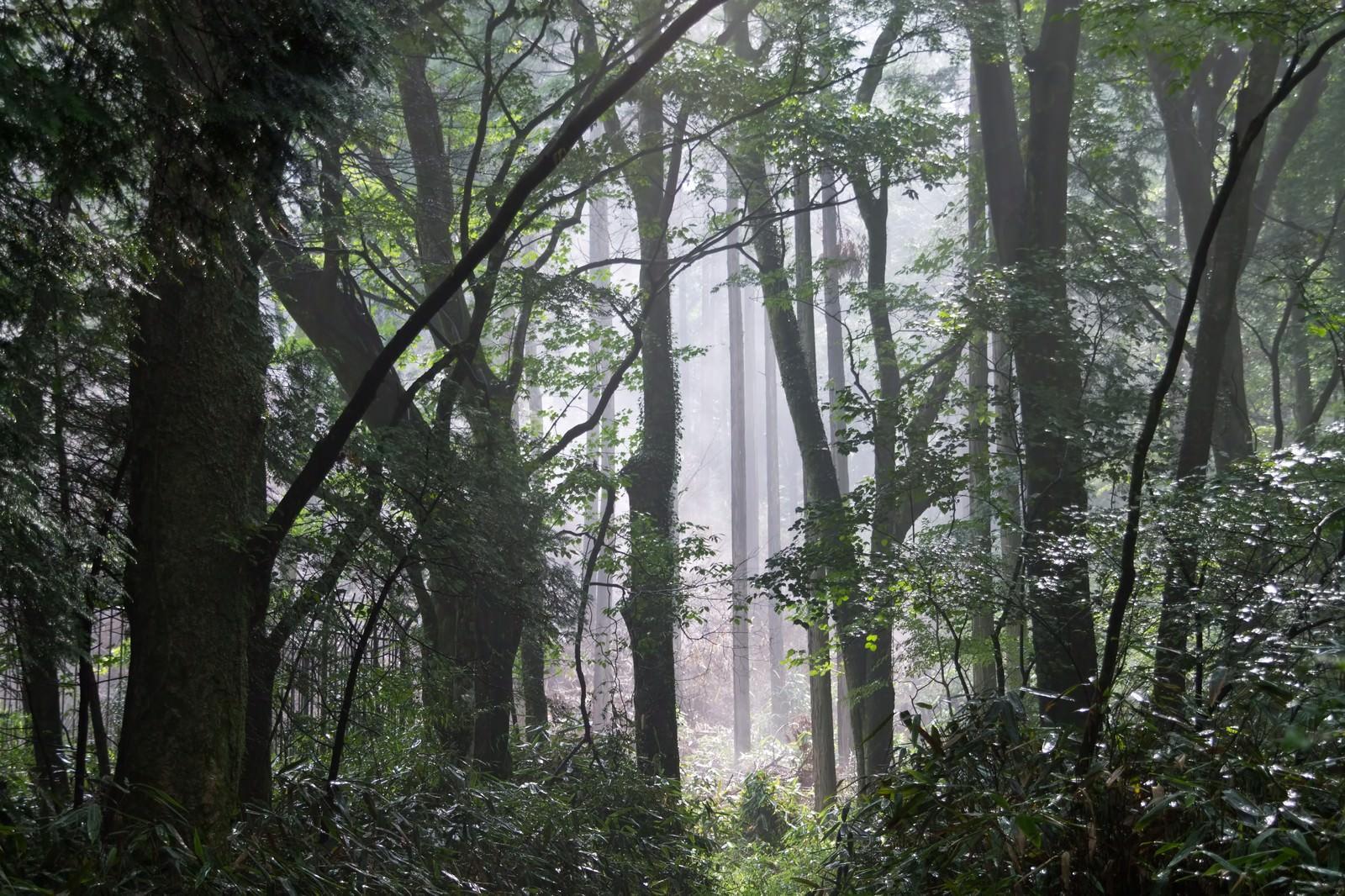 「靄がかかった樹海 | 写真の無料素材・フリー素材 - ぱくたそ」の写真