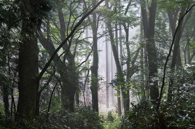 「靄がかかった樹海」のフリー写真素材