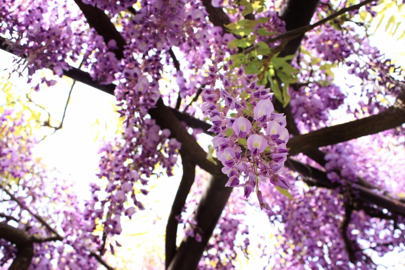 「藤の花」の写真