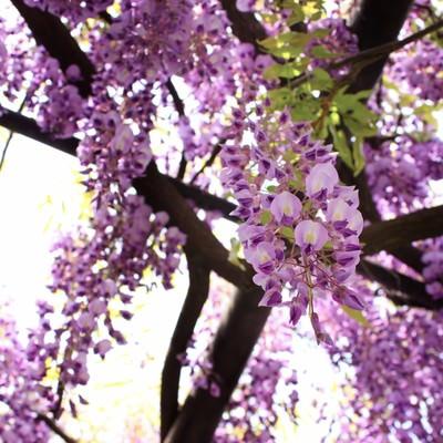 「藤の花」の写真素材