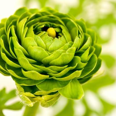 「グリーンのラナンキュラス」の写真素材