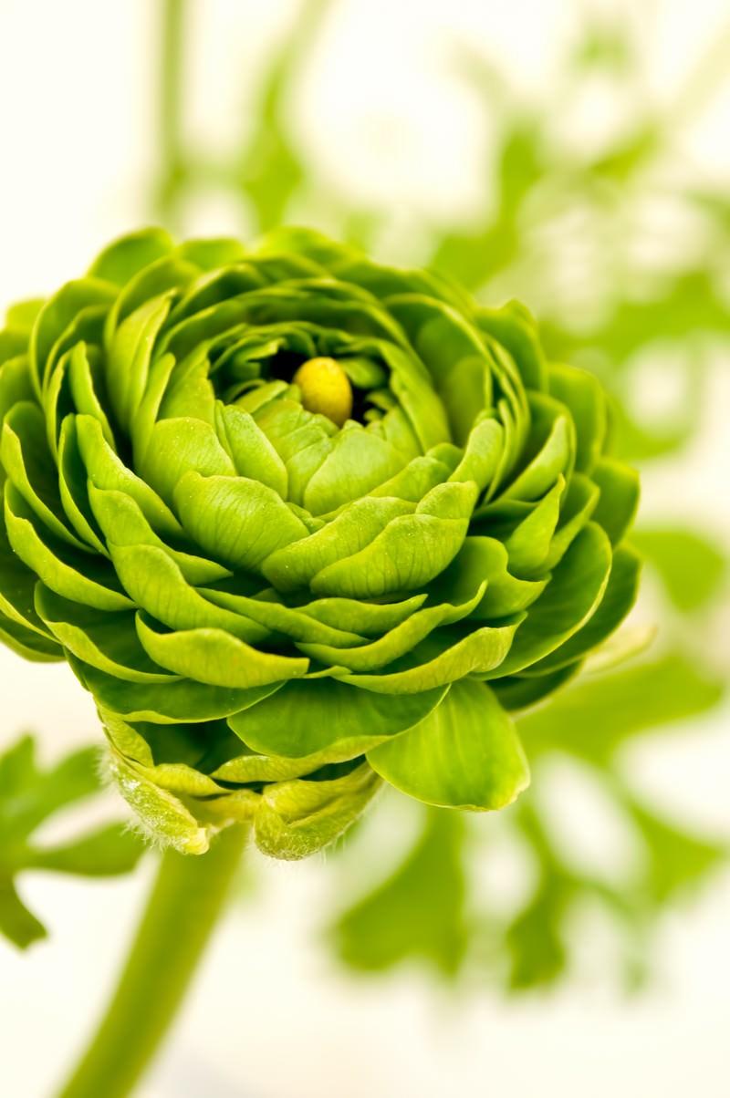 「グリーンのラナンキュラス」の写真