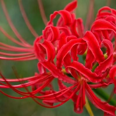 赤い彼岸花の写真
