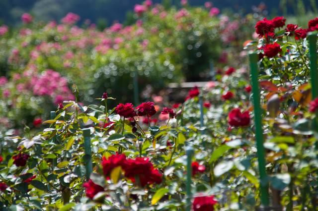 一面に広がるバラの写真
