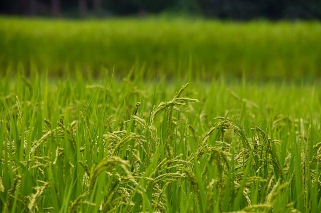 稲穂と田んぼの写真