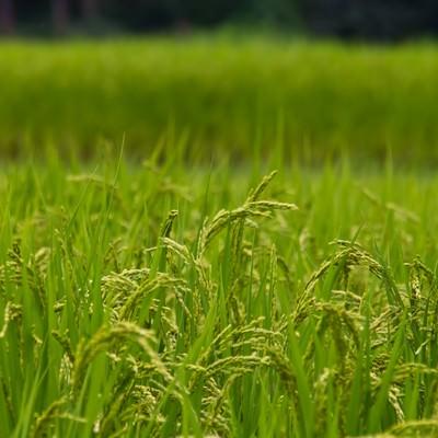「稲穂と田んぼ」の写真素材