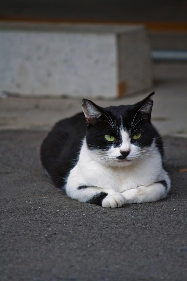 ふてぶてしい表情で睨みつける猫の写真