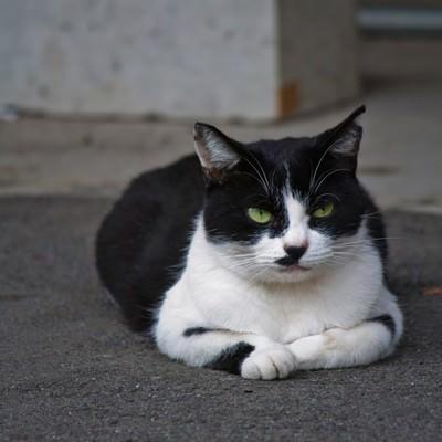 「ふてぶてしい表情で睨みつける猫」の写真素材