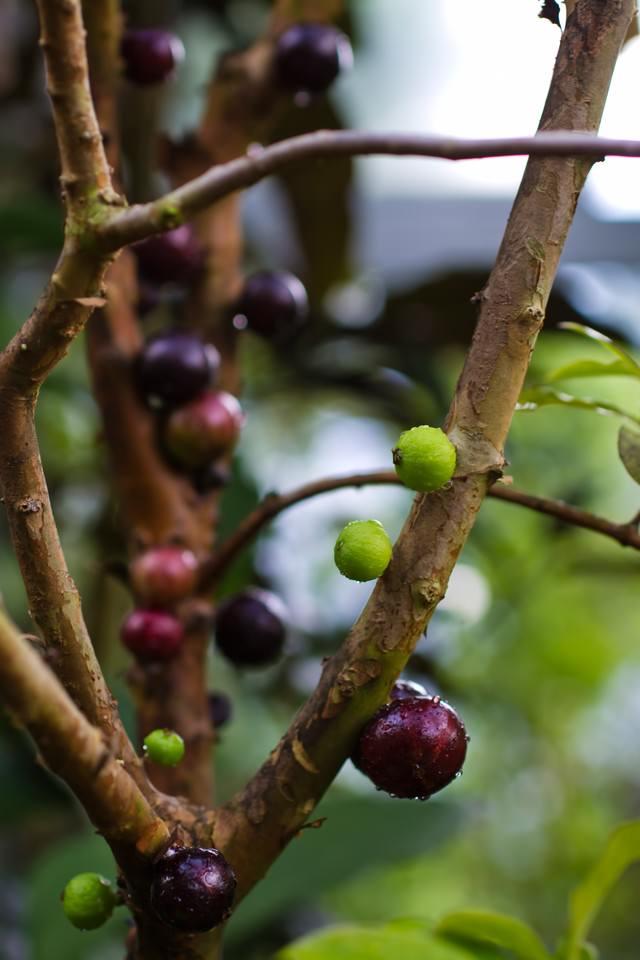枝に実がなるジャボチカバの写真