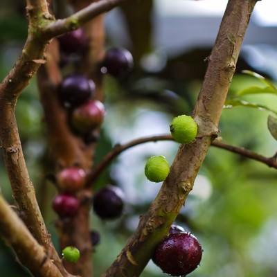 「枝に実がなるジャボチカバ」の写真素材