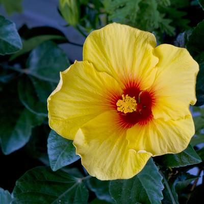 「黄色いハイビスカスの花」の写真素材