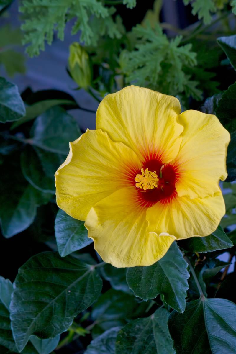 「黄色いハイビスカスの花」の写真