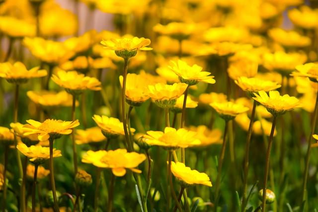 黄色い花々の写真