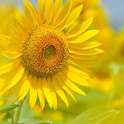 「黄色いヒマワリ」の写真素材
