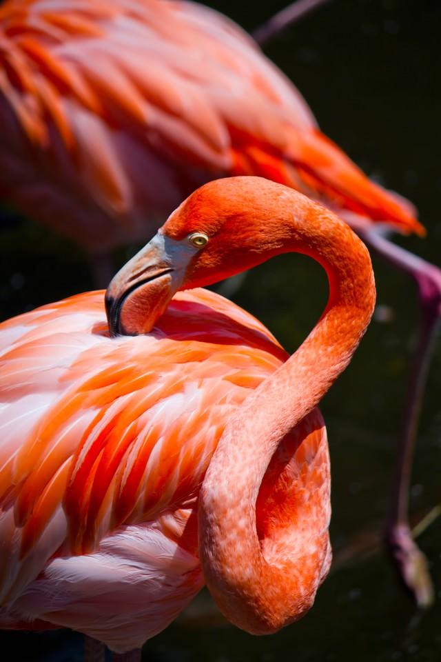 首を曲げるフラミンゴの写真