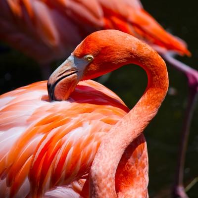 「首を曲げるフラミンゴ」の写真素材