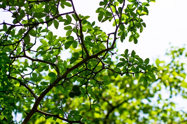 丸い実を付けた木