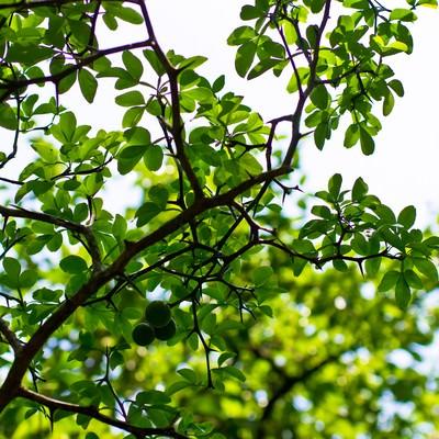 「丸い実を付けた木」の写真素材