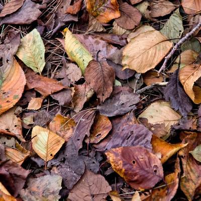 「枯葉と落ち葉」の写真素材