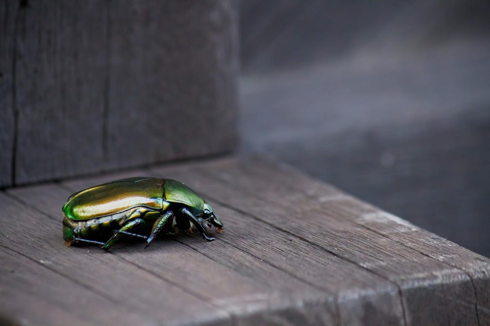 「緑色のコガネムシ」の写真