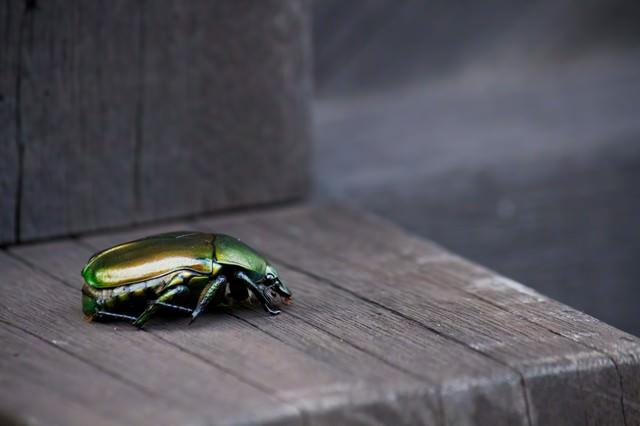 緑色のコガネムシの写真