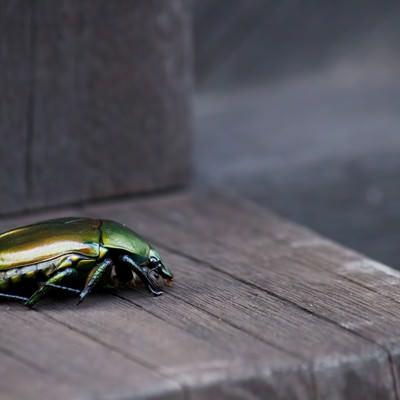 「緑色のコガネムシ」の写真素材