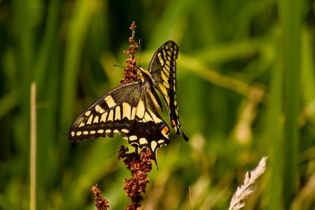 蜜を吸うアゲハチョウの写真