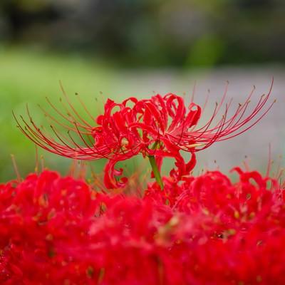 「満開の彼岸花」の写真素材