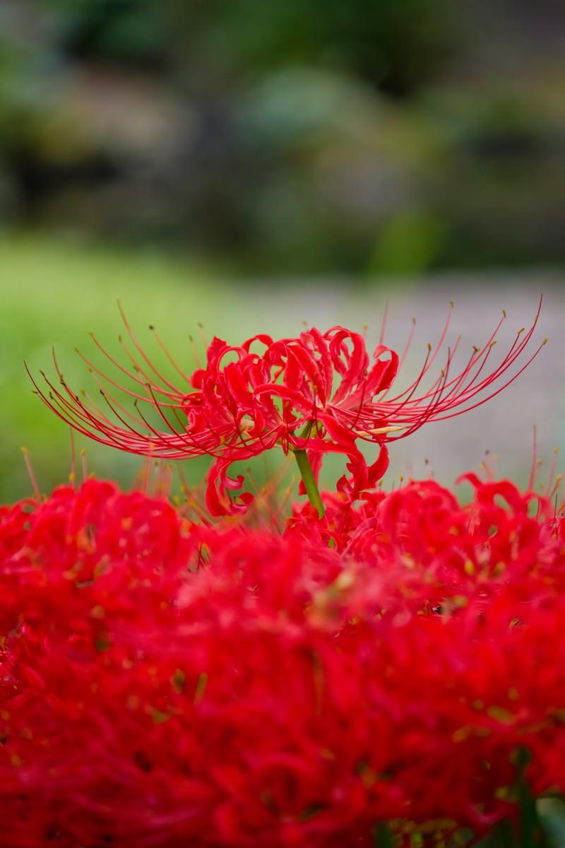 「満開の彼岸花」の写真