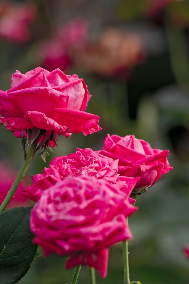 ピンク色のバラ(複数)の写真
