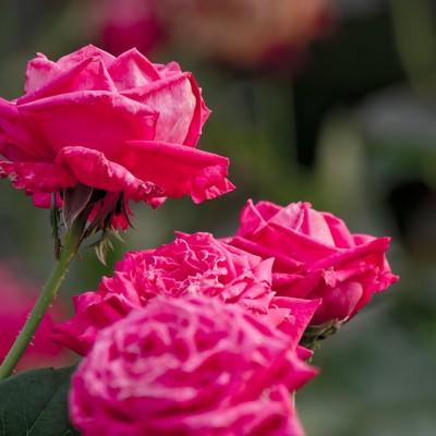 「ピンク色のバラ(複数)」の写真素材