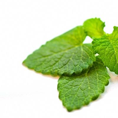 「レモンハーブの葉」の写真素材